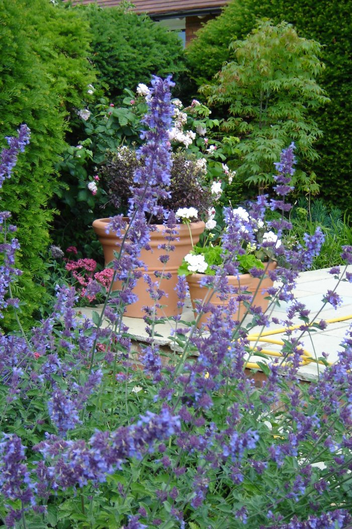 In the formal garden pots soften the patio areas. Nepeta 'Walkers Low' flowers for long periods.